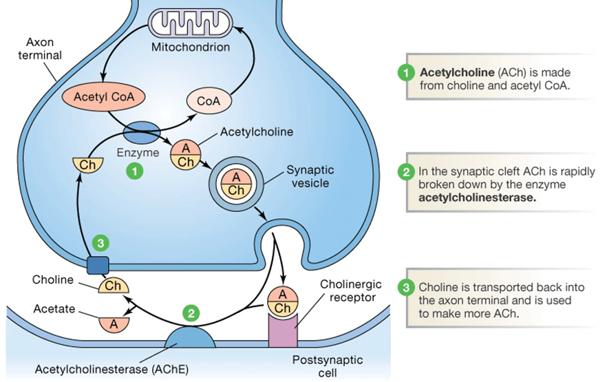 What Is Acetylcholinesterase